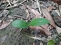 Basella alba--sapling.jpg