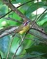 Basileuterus rufifrons Arañero cabecirrufo Rufous-capped Warbler (10894311594).jpg