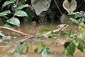 Basilisco rayado - panoramio.jpg