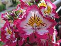 Bauernorchidee - Schizanthus wisetonensis 01.jpg