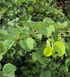<i>Piliostigma</i> genus of plants