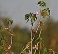 Baya Weaver (Ploceus philippinus) on Ipomoea carnea in Kinnarsani WS, AP W IMG 6102.jpg