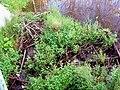 Beavers dum on Chyernaya River.jpg