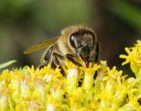 Saugende Honigbiene am Blütenkelch der Goldrute