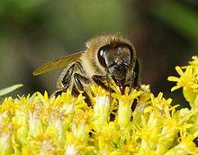 Un'ape intenta a raccogliere il nettare.