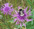 Bee on knapweed (Centaurea nigra) - geograph.org.uk - 1393447.jpg