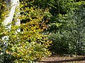 Beech and holly - geograph.org.uk - 590528.jpg