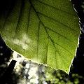 Beech leaf - Flickr - Stiller Beobachter (1).jpg
