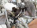 Beefly. Anthracinae. Anthracini. Xenox sp. or Anthracinae. Exoprosopini. Exoprosopa species. - Flickr - gailhampshire.jpg