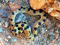 Beetz's Tiger Snake Telescopus beetzii.jpg