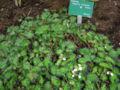 Begonia bowerae.JPG