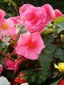 Begonia x tuberhybrida 1005Pink2.JPG