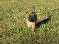 Belgian Shepherd Malinois girl.jpg