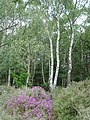 Bell heather and birches - geograph.org.uk - 192209.jpg