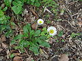 Bellis rotundifolia.JPG