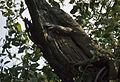 Bengal Monitor (Varanus bengalensis) (20646535002).jpg
