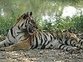 Bengal Tiger - panoramio - Anil Kaushik.jpg