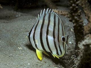 Eightband butterflyfish