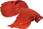 Beta Fish Icon.png