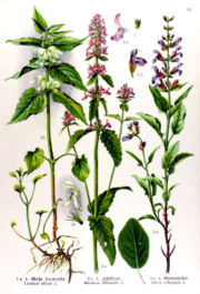 Betonica officinalis.jpg