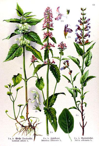 File:Betonica officinalis.jpg