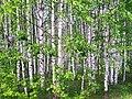 Betula genus.jpg