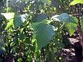 Betula nigra Heritage 0zz.jpg
