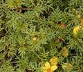 Bidens ferulifolia 02 ies.jpg