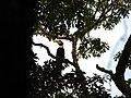 Bird Great Hornbill Buceros bicornis IMG 8659 03.jpg