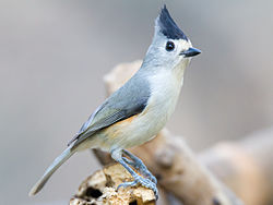 Black-crested Titmouse in Santa Ana National Wildlife Refuge.jpg