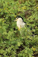 Black-crowned Night Heron KNP 01.jpg