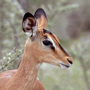 Black-faced impala (Aepyceros melampus petersi) female head 2.jpg