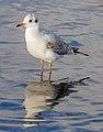 Black-headed Gull, Lake Windermere, England 10.jpg