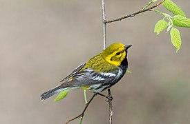 Black-throated green warbler in PP(13988).jpg