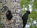 28 / Black Woodpecker