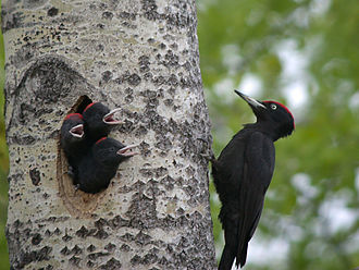 Black woodpecker - Adult male with young.