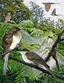 Black Billed Cuckoo From The Crossley ID Guide Eastern Birds.jpg