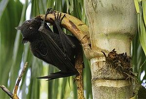 Black flying fox - Black flying fox feeding on a palm, Brisbane, Australia