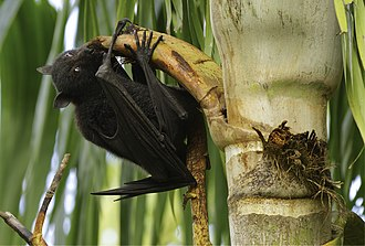 Black flying fox - Black flying fox feeding on a palm, Brisbane, Australia
