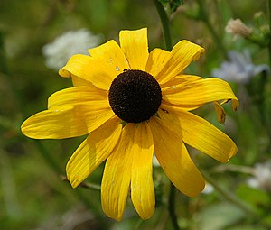 English: Black-eyed Susan blossom.