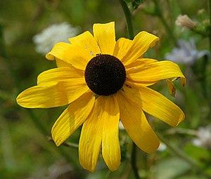 Rudbeckia hirta - Rudbeckia hirta flowerhead