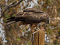 Black kite (milvus migrans).jpg