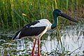 Black necked stork (Jabiru) - Fogg Dam - Northern Territory - Australia.jpg