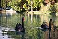 Black swans (3340877825).jpg