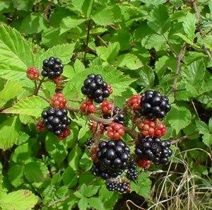 Rubus - Rubus fruticosus