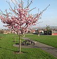 Blossom at Tinsley Green - geograph.org.uk - 1812844.jpg
