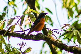 Blue-capped Rock Thrush (2).jpg