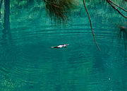 Blue Mountains platypus