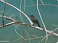 Blue Rock Thrush (Monticola solitarius) (34296290132).jpg