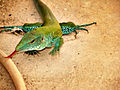 Blue and green Ameiva ameiva.jpg